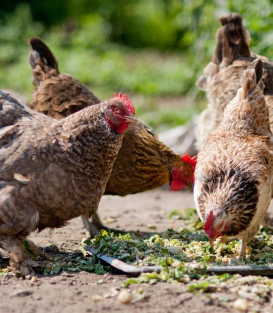 Kippen pikken groenteafval