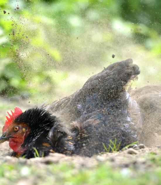 Kip neemt stofbad