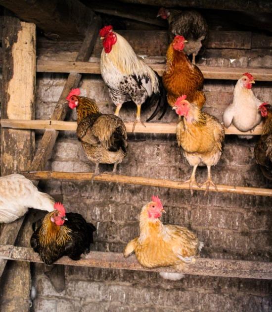 Kippen en haan in groot kippenhok met zitstokken op verschillende hoogtes