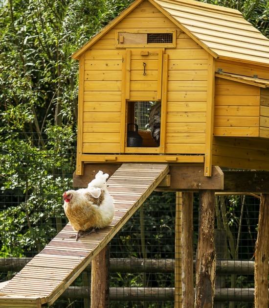 Kip loopt over loopplank naar hoog kippenhok