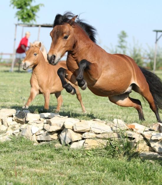 miniatuurpaard springen