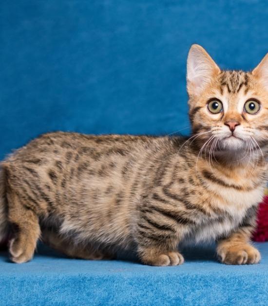 Munchkin kat met korte pootjes