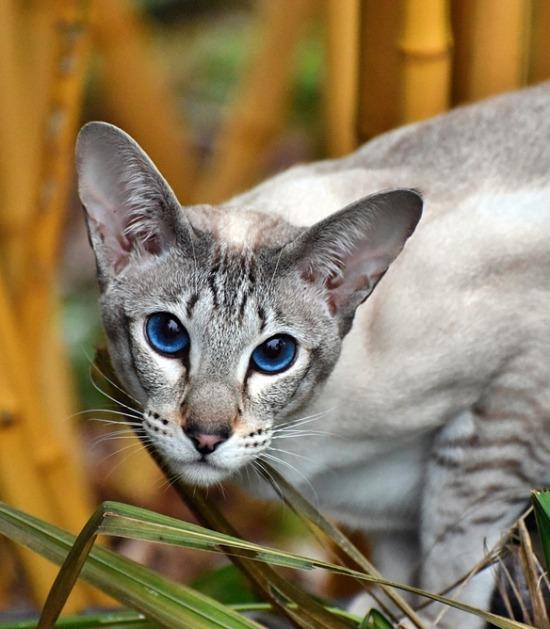 Oosters korthaar met blauwe ogen