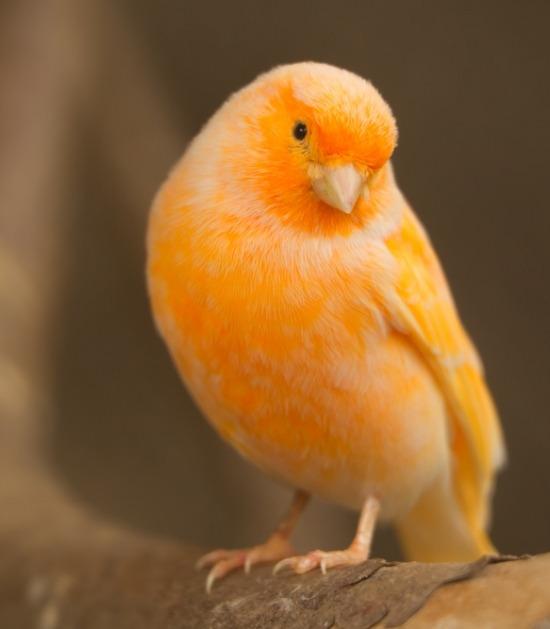 oranje kanarie