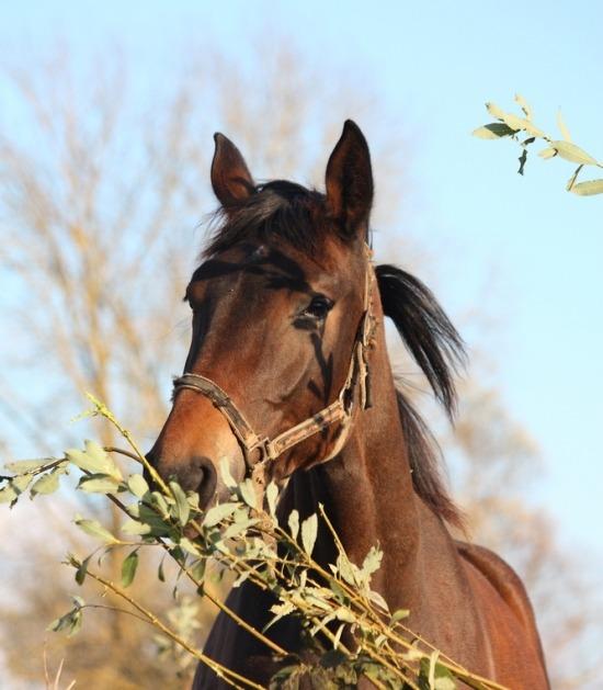 Paard eet takken