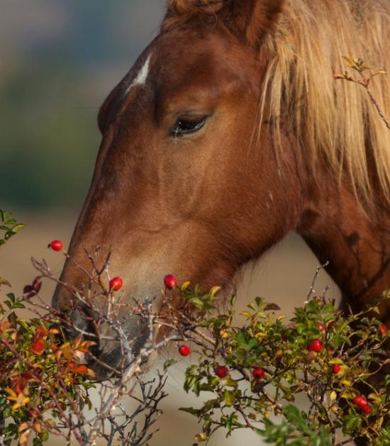 Paard eet rozenbottel van struik