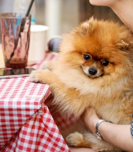 Pomeriaan zit op schoot aan tafel van restaurant
