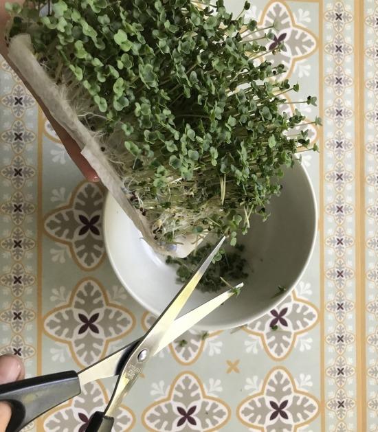 Kiemgroente broccoli wordt afgeknipt uit doosje