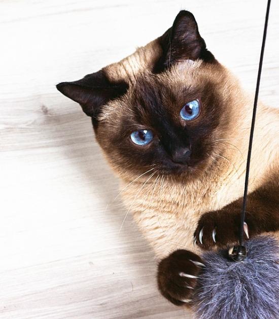 Siamese kat met hengel