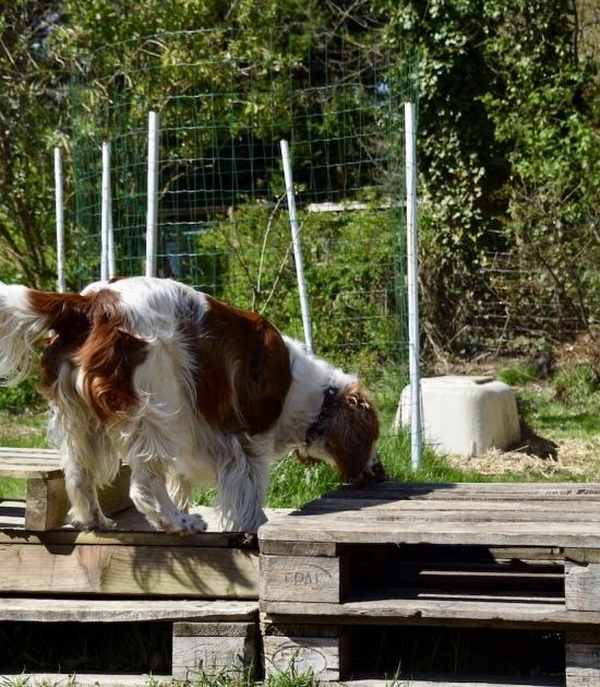 Springer spaniel hond op palletten