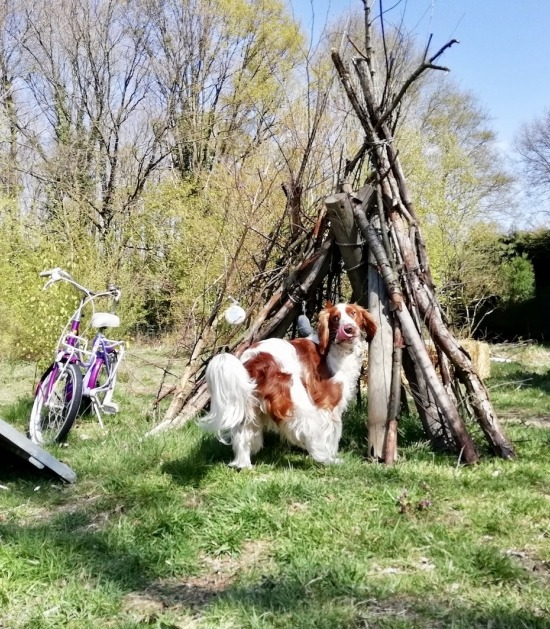 Springer spaniel hond staat voor takkentipi en kinderfiets