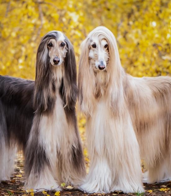 twee Afghaanse windhonden