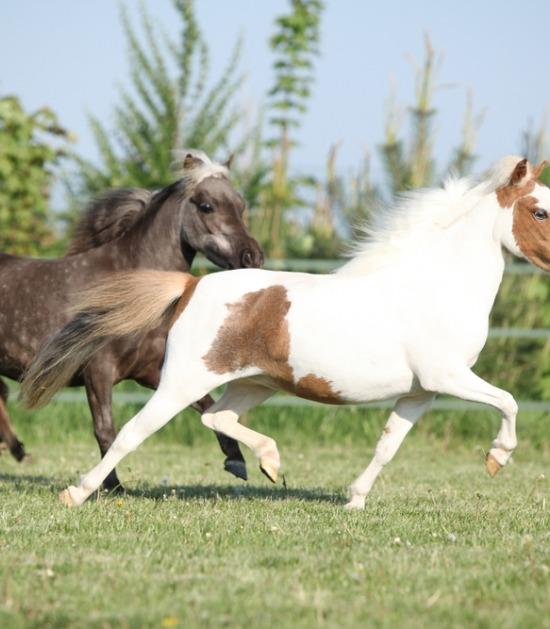 twee dravende miniatuurpaarden