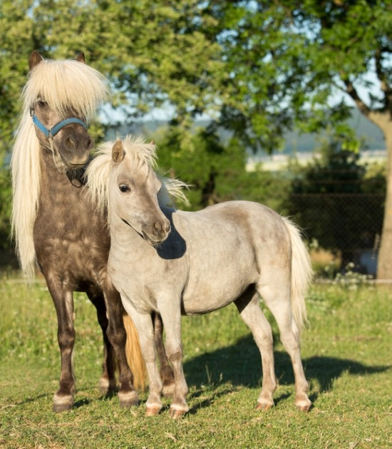 twee miniatuurpaarden