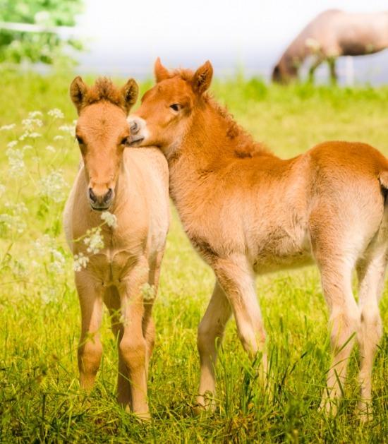 Twee pony veulens in de wei