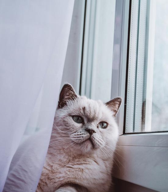 Pluizige kat ligt achter een gordijn