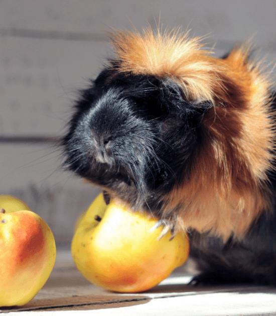 Cavia eet een appel