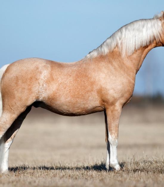 zijaanzicht Welsh pony