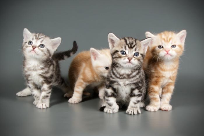 Jonge American Shorthair kittens in verschillende kleuren.