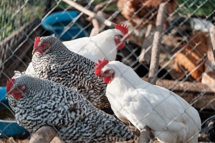 Een groep kippen