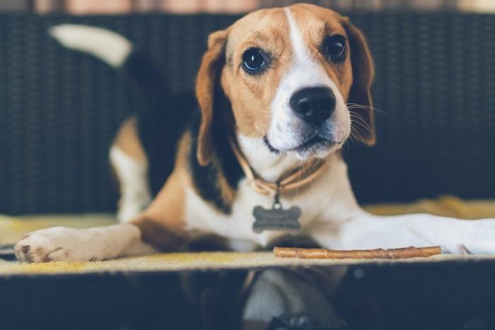 beagle_voor_dummies