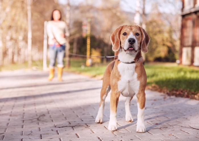 Beagle aan een lange leiband