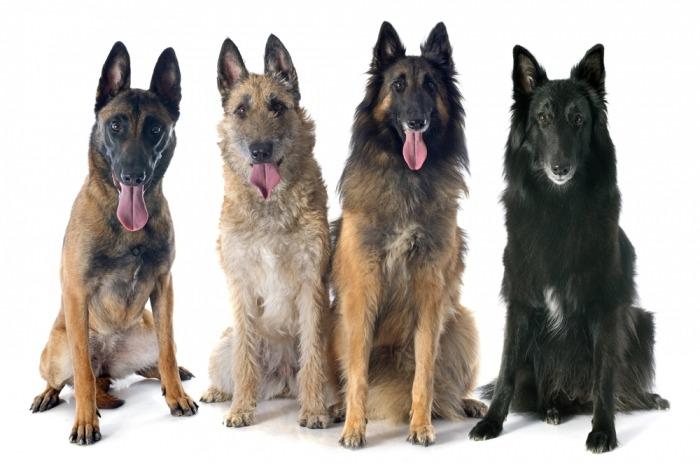 Vier Belgische herders op een rij