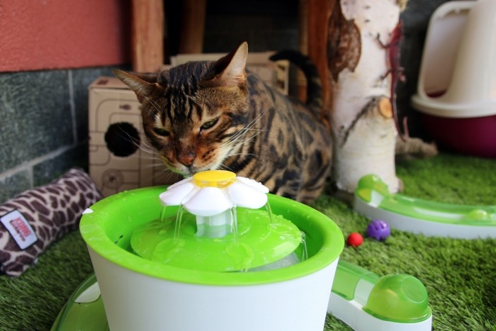 Bengaalse kat drinkt van drinkfontein