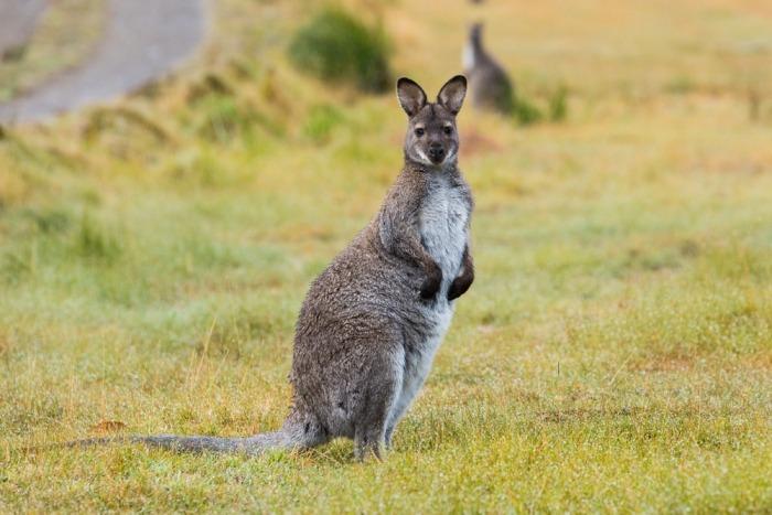 Bennett wallaby op gras
