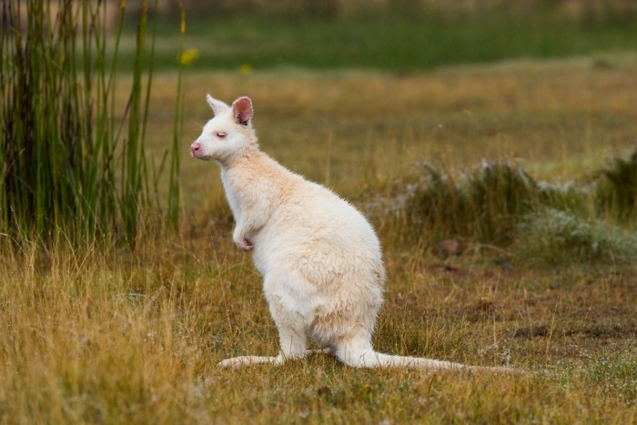 Albino Bennett wallaby