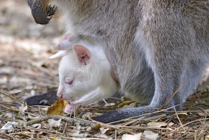 Wallaby in buidelzak van moeder