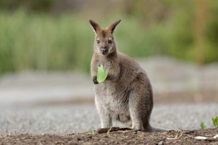 Een Bennett wallaby