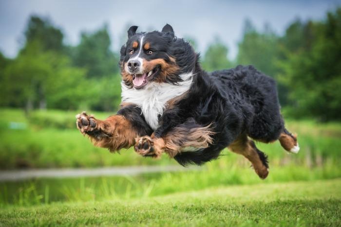 Berner Sennenhond rent door het gras