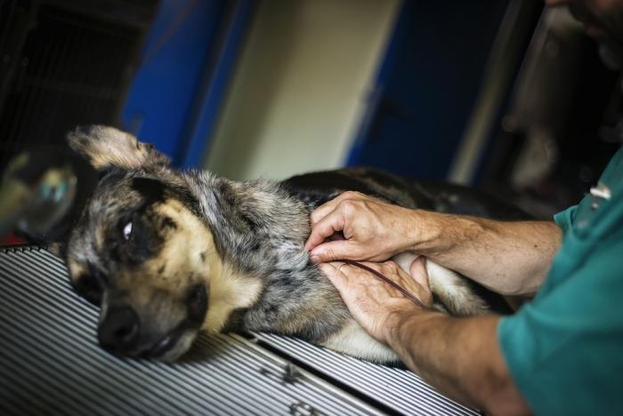 Het bloed van een donorhond wordt afgetapt
