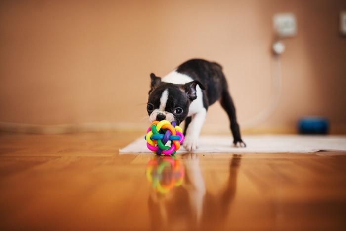 Een jonge Boston terrier speelt.