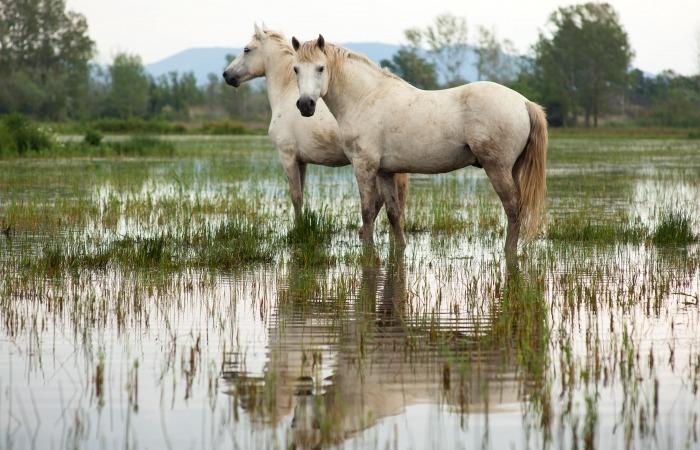 Twee Camarguepaarden in een moeras