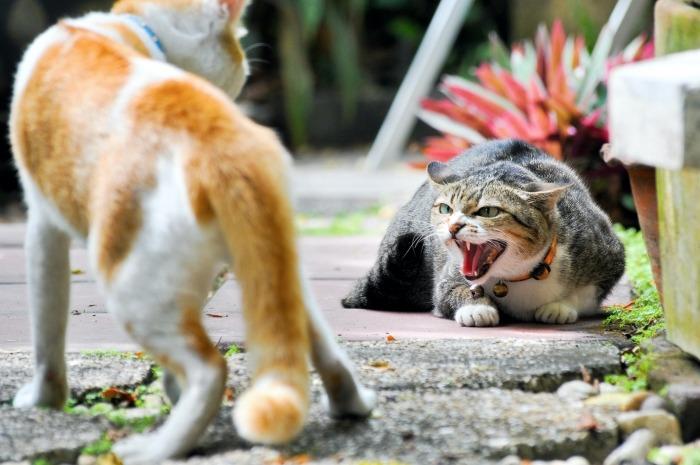 Twee katten vechten