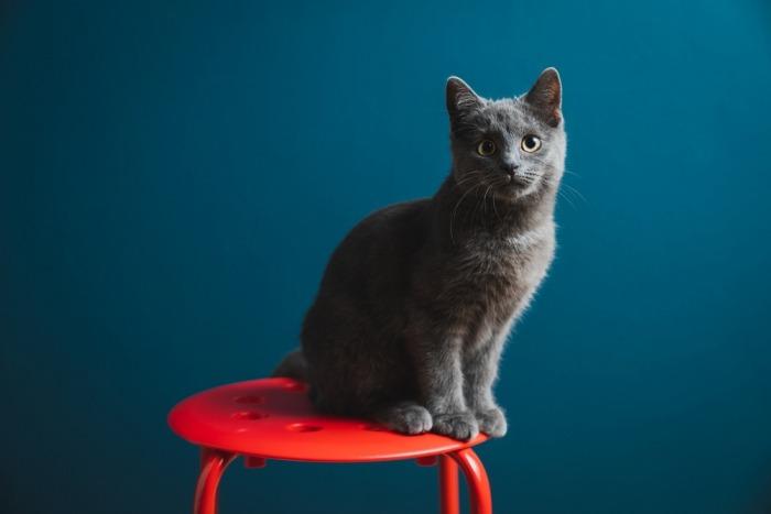 chartreux op een stoel