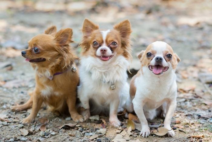 Drie chihuahua's zitten naast elkaar