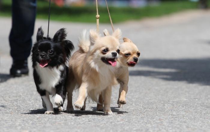 Drie wandelende chihuahua's aan de leiband