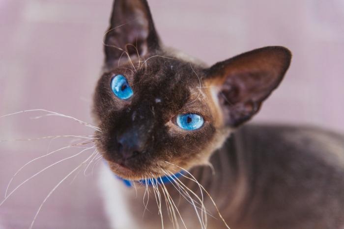 Cornish rex met blauwe ogen