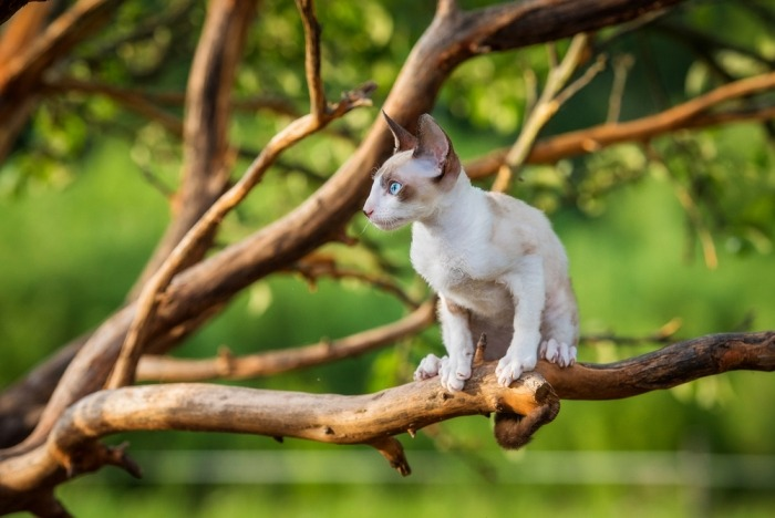 Witte Cornish rex in een boom