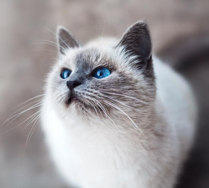 Witte kat met felblauwe ogen