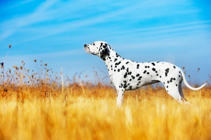 dalmatiër in het veld