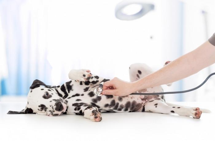 Dalmatiër puppy bij de dierenarts