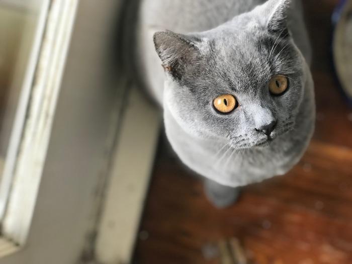 Een grijze Brits korthaar met oranje ogen