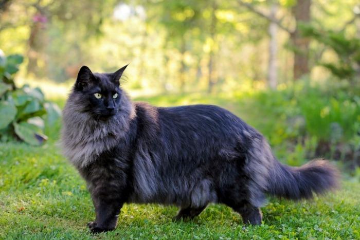 Zwarte Noorse boskat