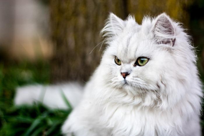 Witte Perzische kat