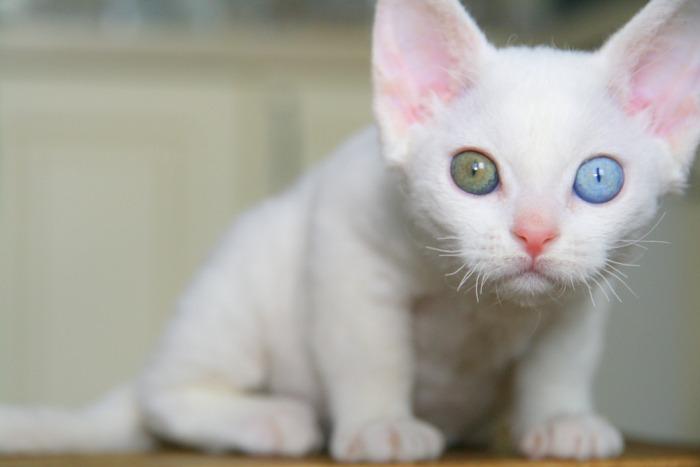 Witte Devon rex met twee verschillende kleuren ogen