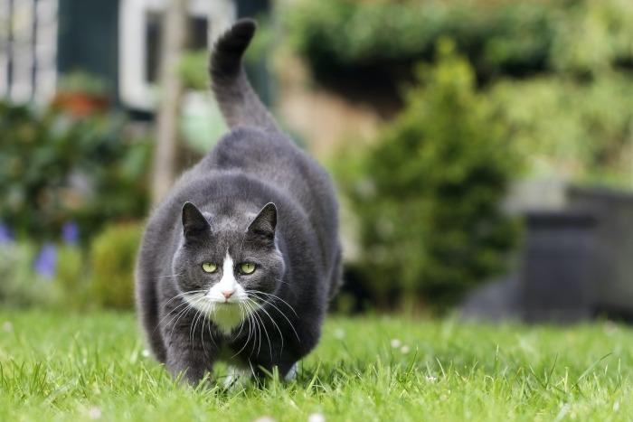 Dikke zwarte kat loopt in het gras
